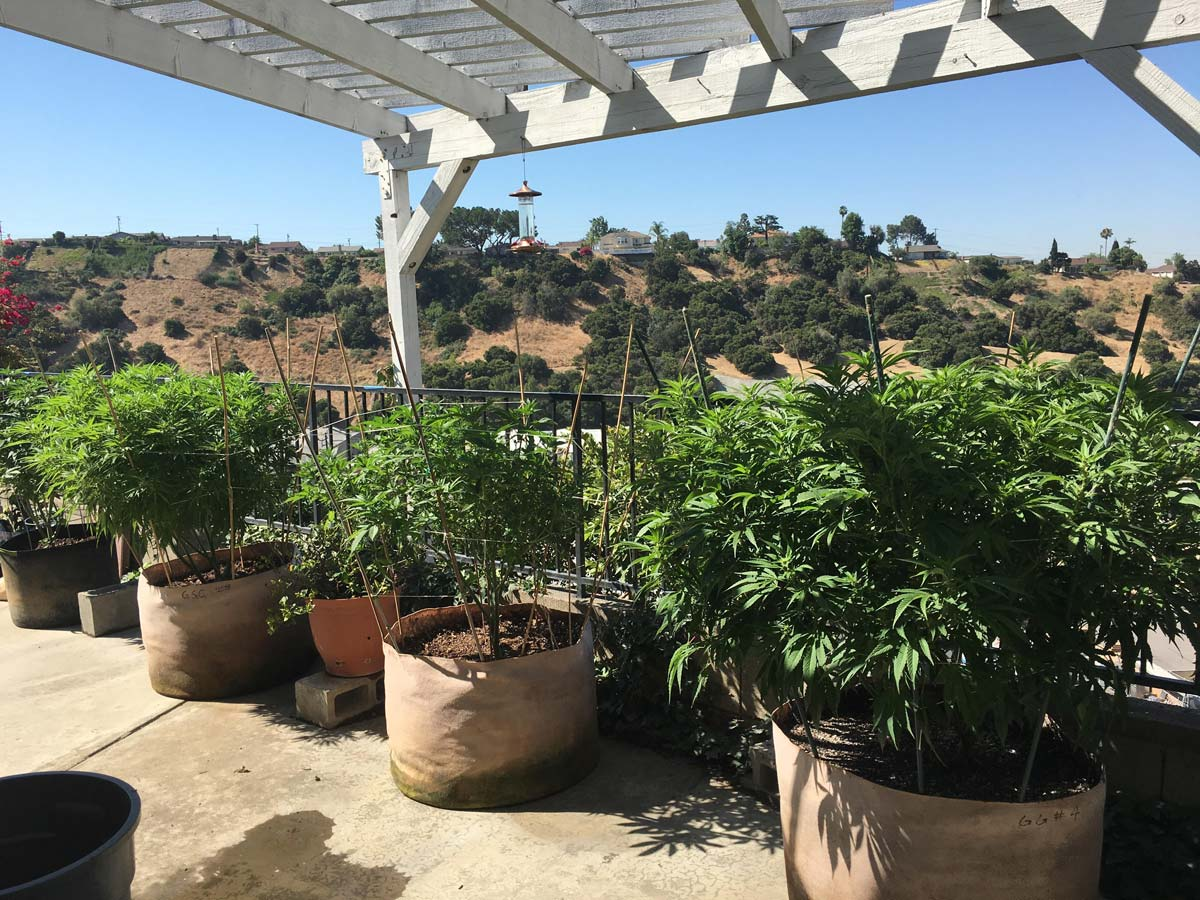 simple guide to growing cannabis indoors